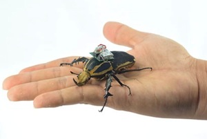 An international team of scientists are using miniature radios to control the flight of beetles.