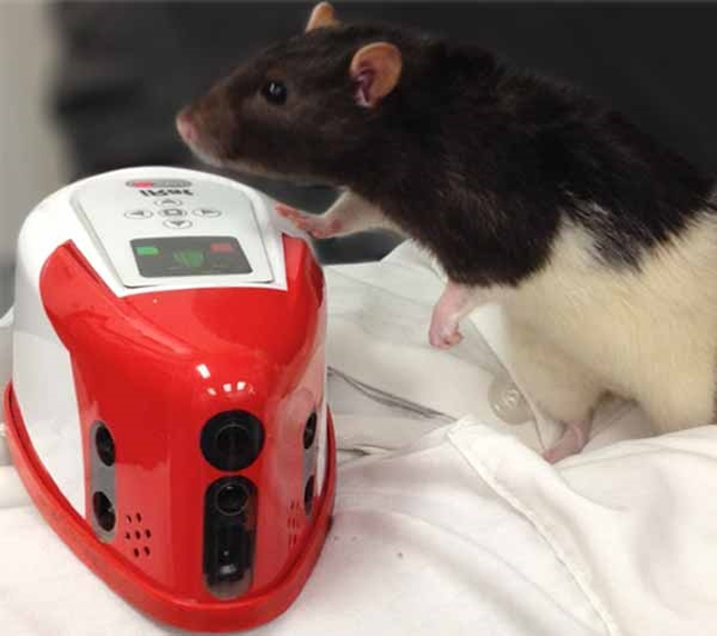 iRat, a robotic rodent, may help researchers better understand robotic/human interaction. Photo by Andrea Chiba